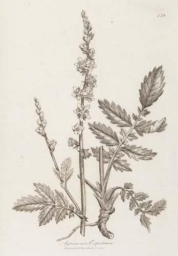A Modern Herbal | Agrimony