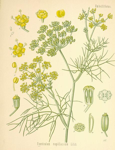 A Modern Herbal | Fennel