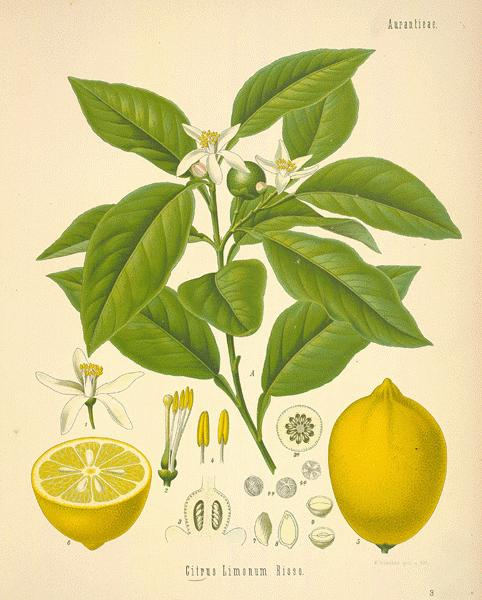 botanical.com - A Modern Herbal | Lemon