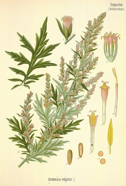 A Modern Herbal | Mugwort