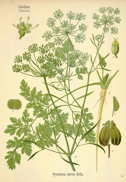 A Modern Herbal | Parsley