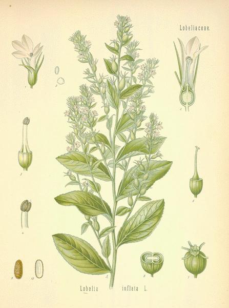 A Modern Herbal Lobelia