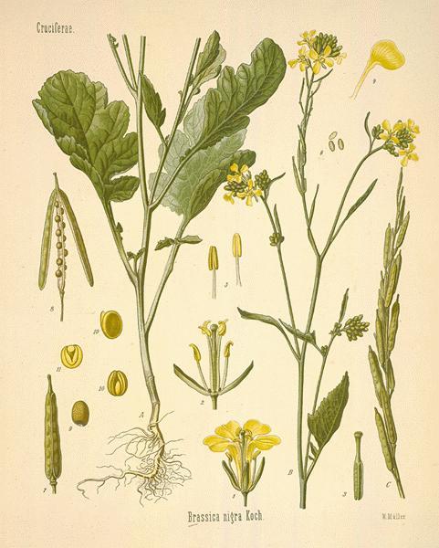 A Modern Herbal   Mustards